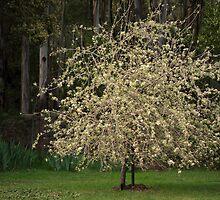 Blossom by iamsiam