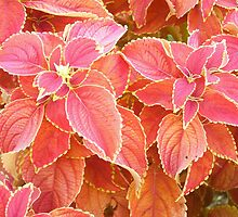 fiery red coleus by joelz