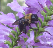 Honey bee on purple obediant by joelz