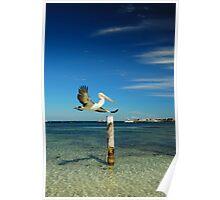 Rottnest Island Pelican Poster