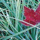Frosty Red Maple Leaf lying in the grass by Jeff Hathaway