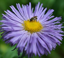 Bee On Purple Daisy by SmilinEyes