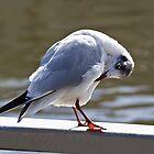 Preening Time - Black-headed Gull by Susie Peek