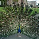 A PEACOCK IN SCOTLAND by DIANEPEAREN