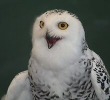 "Snow Owl Asking "" Who Won"" by declown"