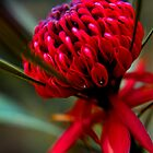 Wild waratah beta by Gianatti6x7