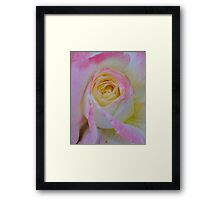 Beautiful Pink Rose Closeup  Framed Print