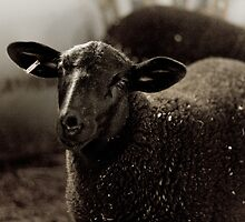 Black Sheep by Daphne Johnson