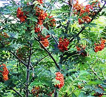 Rowan Berries by Braedene