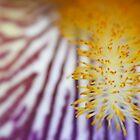 Purple Bearded Iris  by Catherine Tranter