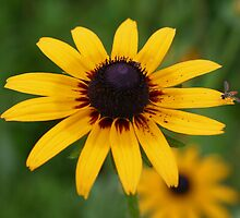 Bug On Black Eyed Susan Flower by SmilinEyes