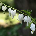 White Bleeding Hearts by SmilinEyes