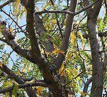 Black Walnut Tree by Laurie Puglia