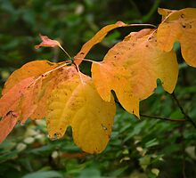 Big Yellow Leaves by rdshaw