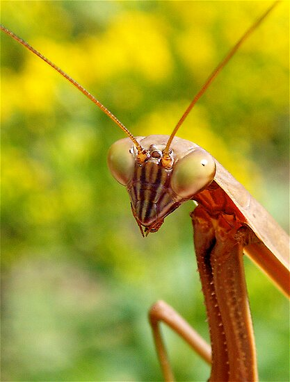 Praying Mantis  by main1