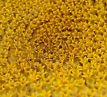 Sunflower Detail by Chris Filer