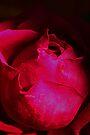 A Red Rose by Evita