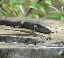 Land Mullet, Egernia major by peterstreet
