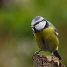 Blue Tit in slight motion by Taka