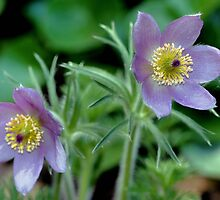 Pasque Flower by SmilinEyes