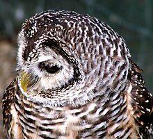Rufus Legged Owl by Richard Durrant