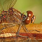 Vagrant Darter Dragonfly by Robert Abraham