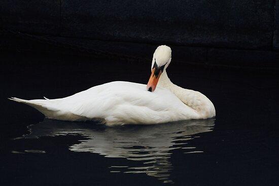 Swan V by shane22