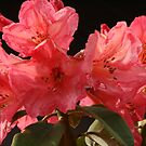 rhodo red by louise linskill