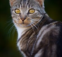 Pretty Tabby cat with Yellow eyes by sjtphotographic