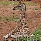 Giraffes at Monato Zoo by Jenny Brice
