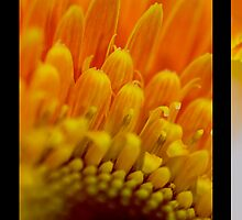 The Gerbera by Sharon Hammond