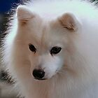 Oreo - A Japanese Spitz by Jenny Brice