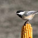 BLACK CAPPED CHICKADEE by Lori Deiter