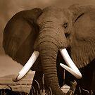 Bull African Elephant by Dennis Stewart
