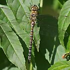 Immature Migrant Hawker by Robert Abraham