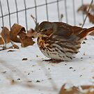 Fox Sparrow by NatureGreeting Cards ©ccwri