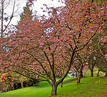In the Pink, Springtime, Vancouver BC, Canada by Priscilla Turner