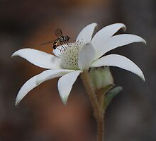Flannel Flower and Fly #2 by George Petrovsky