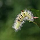 Pale Tussock caterpillar by Robert Abraham