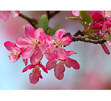 FLOWERING CRABAPPLE BLOSSOMS Photographic Print
