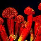 Carnivorous Pitcher Plant - Sarracenia Species by Gabrielle  Lees
