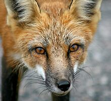 Red Fox Encounters by Vickie Emms