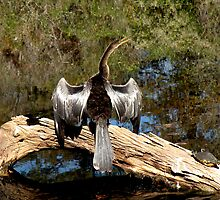 Anhinga with Silver Feathers by Rosalie Scanlon