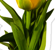 Yellow Tulips Tall and Short Sticker
