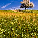 Single blossoming tree in spring. by peterwey
