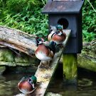 Wood Ducks, Martin Mere WWT by Steve  Liptrot