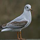 Juvenile Gull by Robert Abraham