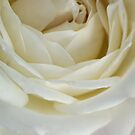 THE ROSE IN A &#x27;DREAMWHITE&#x27; by Magaret Meintjes