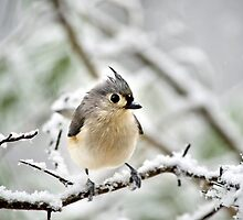 Snowy Tufted Titmouse by Christina Rollo