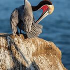 Brown Pelican In Mating Season by CarolM